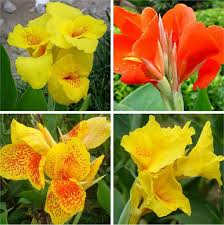 Canna Lily 2017 Diy 5 Seeds Home Garden Mixed Colors Canna Lily Indian Shot