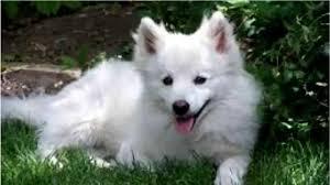 american eskimo dog training top 10 amazing facts about american eskimo dogs american eskimo