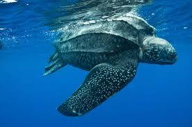 sea turtle species sea turtles library guides at coastal pines