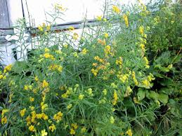 native ontario plants goldenrod this native plant should be kept out of the garden