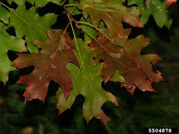 Maple Tree Symbolism by Invasive Species U2013 Page 6 U2013 Center For Invasive Species Prevention