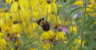 native ohio plants native bees toledo zoo conservation