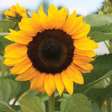 sunflower pictures procut orange f1 sunflower seed johnny s selected seeds