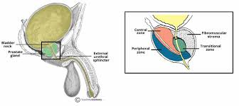 Picture Of Anatomical Position The Prostate Gland Structure Vasculature Lymph Teachmeanatomy