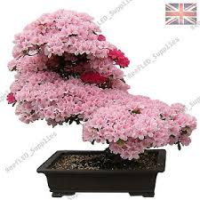 cherry blossom bonsai japanese tree 10 viable seeds