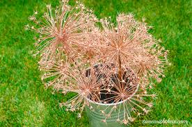 allium flowers stunning metallic painted dried allium flowers time with thea