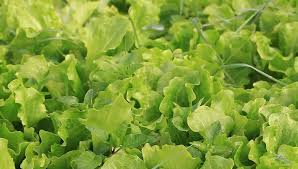growing green salats and vegetables in the greenhouse hydroponic
