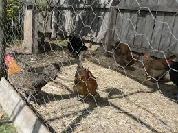 chickens eggs and organochlorines agriculture and food