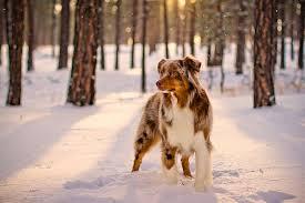 australian shepherd vs brittany 7 best dog breeds with natural bobtails dublin dog blog