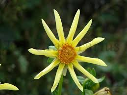 Daisy The Flower - 21 best 20 dahlia forms images on pinterest dahlia flowers and