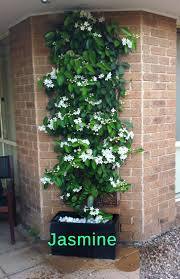 best australian native plants for pots and containers gardening top 10 pergola plants to grow in your pots pergolas jasmine and
