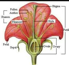 Style Flower Part - what are the parts of a flower how does fertilization process