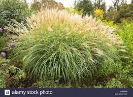ornamental grass flowering uk stock photos ornamental grass