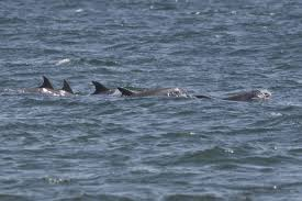 tips for spotting dolphin on lbi u2013 readings from the northside