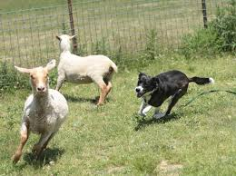 australian shepherd herding sheep do city dogs dream of chasing country sheep npr