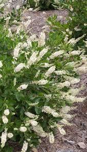 Fragrant Shade Plants - best 25 white flowering shrubs ideas on pinterest flowering