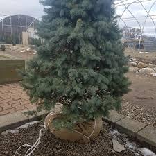 planting your christmas tree stan u0027s garden center