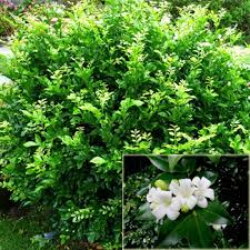sweet viburnum 200mm pot viburnum large murraya hedging plants cheap ebay