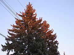 Cone Tree Conifer Cone Wikipedia
