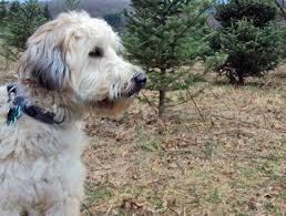 wheaten haircuts the traditional soft coated wheaten terrier haircut dog care