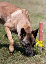 belgian malinois markings belgian malinois cute dogs pinterest belgian malinois