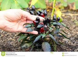 fresh growing ornamental pepper plant stock photo image 44545516