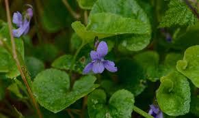 howell u0027s violet u2013 salt spring conservancy