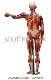 Human Anatomy Full Body Picture Female Human Anatomy Muscle System 3d Stock Illustration 400443004