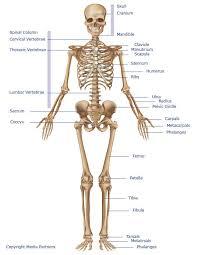 The Human Body Picture Skeletal System Skeleton Bones Joints Cartilage Ligaments Bursae