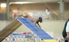 belgian shepherd national specialty apex agility