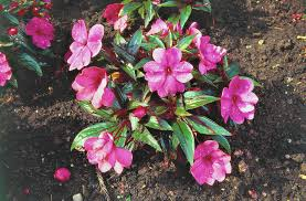 impatiens flowers what is causing new guinea impatiens wilt the morning call