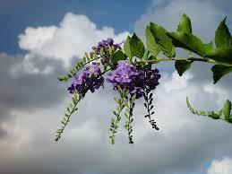 Identify Flowers - plant identification closed identify this purple flower bush in