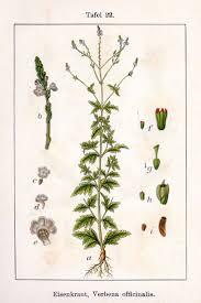 ephedra plant wikipedia 73 best nature notebook images on pinterest botany delicious