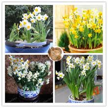 popular planting daffodils bulbs buy cheap planting daffodils