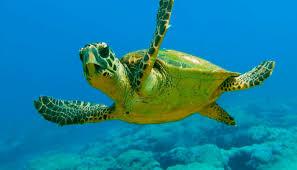 imagenes tortugas verdes quelonios reptiles marinos pasivos en peligro de extinción