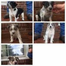 1 year old australian shepherd for sale australian cattle dogs for sale ads free classifieds