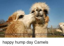 Camel Memes - 25 best memes about hump day camel hump day camel memes