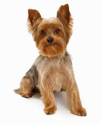 dogs with curly hair and floppy ears the yorkie coat facts care grooming haircut styles playbarkrun