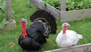 Thanksgiving Bird 5 Reasons Not To Eat Turkey This Thanksgiving The Dodo