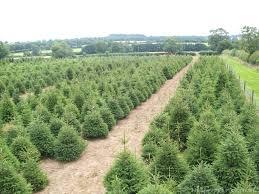 oakberry christmas tree farm lutterworth leicester www