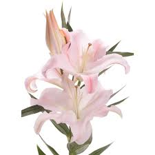 pink lilies s day lilies flower muse