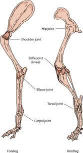 Diagram Of Knee Anatomy Wolf Skeleton Diagram Wolf Muscle Diagram Anatomy Animal