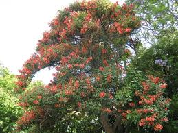 9 philippine trees better than cherry blossoms