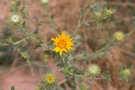 plants native to utah 5 common utah wildflowers natural history museum of utah