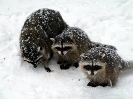 raccoon removal in the winter abc humane wildlife