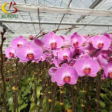 orchid plants for sale phalaenopsis orchid flower export taiwan orchid nursery orchid