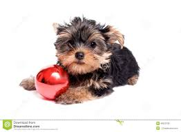 cute yorkie puppy with christmas ornament stock photo image