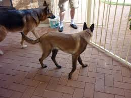 belgian malinois size at 6 months new mal first post page 1