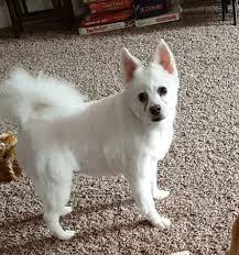 american eskimo dog washington state nw muddy puppy pet groomers 1014 n 19th ave kelso wa phone