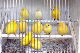 uccelli in gabbia uccelli in gabbia immagine stock immagine di sparrow 50576237